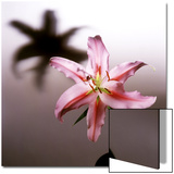 Pink Lily Blossom with Shadow