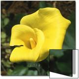 Calla Lily  Araceae Zantedeschia Elliottiana  Oregon