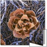 Singleleaf Pinyon Pine Cone  Pinus Monophylla  Nevada