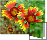 Indian Blanket  Fire Wheel Flower
