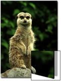 Curious Meerkat  Suricata Suricatta