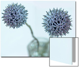 Still Life Photograph  Two Globe Thistles (Echinops Ritro)  Shot with Shallow Dof