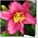 Daylily Beauty