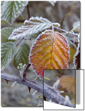 Blackberry Leaves in Frost