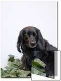 Black  Cocker Spaniel Mix Dog in Ivy Against White