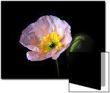 Pink Iceland Poppy Flower and Bud