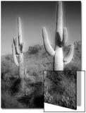 Two Saguaro (Carnegiea Gigantea) Cactii