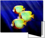 Angelfish Underwater