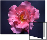 Pink Rose  Close-Up