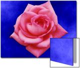 Pink Rose on Blue Background