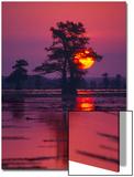 Sun Rising Behind Tree in Cypress Swamp