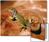 Collared Lizard (Crotaphytus Collaris)  Sedona  Arizona  USA