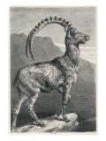 An Ibex  a Member of the Goat Family