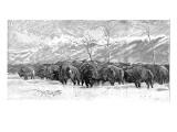 Herd of Buffalo in a Blizzard  1887