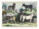 Four Hooved Animals: Horse  Ass  Zebra  and Quagga