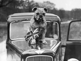 A British Bulldog Stands Proudly Behind a Union Jack Flag on a Car Bonnet