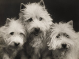 Three Westie Heads All Owned by Miss De Berry