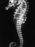 An X-Ray of a Seahorse  Showing its Skeleton