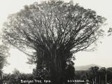 A Fine Banyan Tree  Apia  Samoa