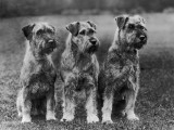 Three Schnauzers Sitting Together