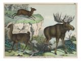 Three Types of Ruminant: Llama  Musk Deer  and Elk