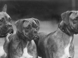 The Heads of Three Boxers Belonging to Mrs Sprigge