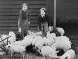 Land Girls Working Feeding Pigs on a Farm During World War II