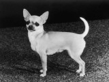 Smooth-Haired Chihuahua Molimor Talentina