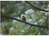 Robin in a Suburban Garden