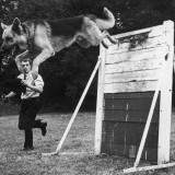 A German Shepherd Police Dog Jumping a Hurdle During a Training Session