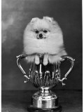 Pomeranian Champion Dimples of Hadleigh  a Pomeranian Posing in a Trophy