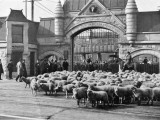 Sheep Arriving at the Chicago Stockyards to Be Converted into Legs of Mutton and Lamb Chops