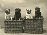 Pug 1926