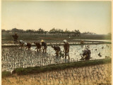 Planting Rice in Paddy Fields