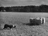 Sheep Dog Trials  Kent