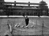 Lord's Cricket Ground as a Goose Farm  1915