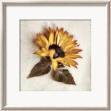 Sand Sunflower