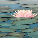Lily Pool II