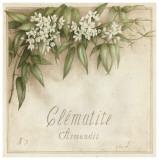 Clematite  Armandii