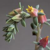 Close-Up of an Echeveria Plant (Echeveria Gibbiflora)