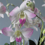 Close-Up of Dendrobium Flowers