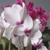 Close-Up of Florist's Cyclamen Flowers (Cyclamen Persicum)