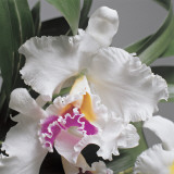 Close-Up of Cattleya Flowers