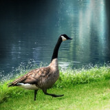 Goose Taking a Step
