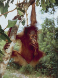 Bornean Orangutan Hanging from a Branch in a Forest  Tanjung Puting National Park