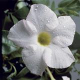 Close-Up of a White Dipladenia Flower (Dipladenia Boliviensis)