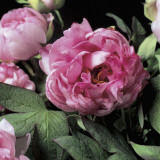 Close-Up of Common Peony Flowers (Paeonia Officinalis)