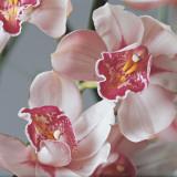 Close-Up of Cymbidium Flowers