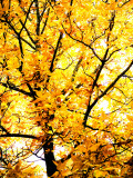 Yellow Tree in Autumn