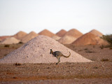 Kangaroo in Opal Mining Area in Coober Pedy in the South Australian Outback